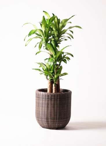 観葉植物 ドラセナ 幸福の木 8号 ノーマル ウィッカーポット エッグ NT 茶 付き