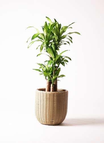 観葉植物 ドラセナ 幸福の木 8号 ノーマル ウィッカーポット エッグ NT ベージュ 付き