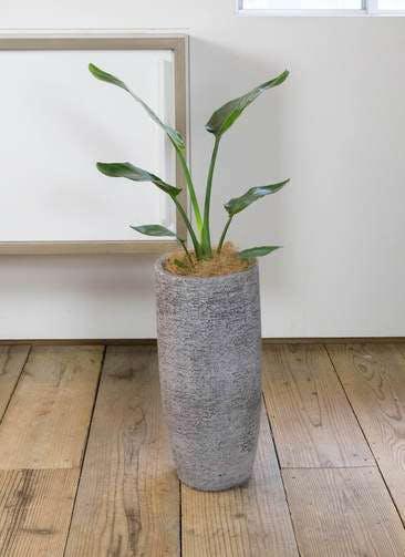 観葉植物 オーガスタ 6号 エコストーントールタイプ Gray 付き