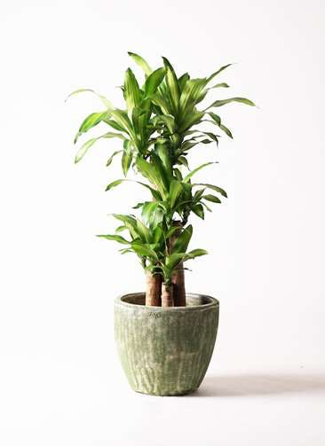 観葉植物 ドラセナ 幸福の木 8号 ノーマル アビスソニア ミドル 緑 付き