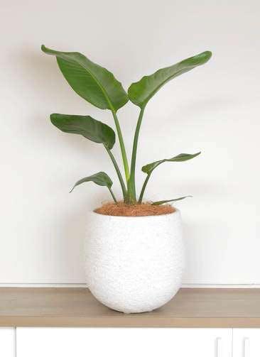観葉植物 オーガスタ 6号 エコストーンwhite 付き
