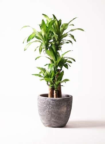 観葉植物 ドラセナ 幸福の木 8号 ノーマル アビスソニア ミドル 灰 付き