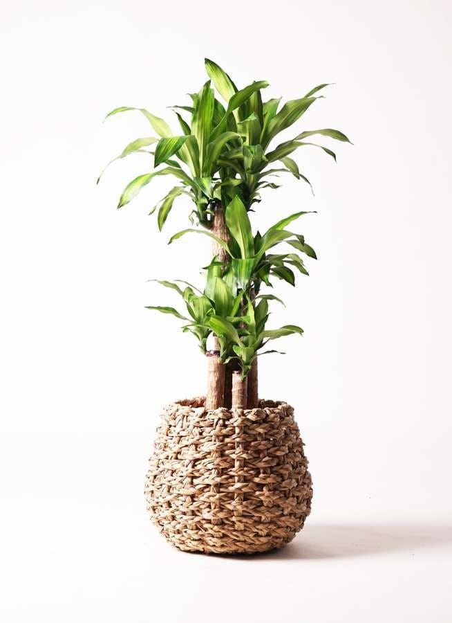 観葉植物 ドラセナ 幸福の木 8号 ノーマル ラッシュバスケット Natural 付き