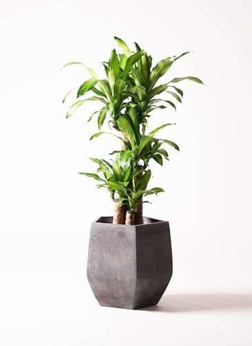 観葉植物 ドラセナ 幸福の木 8号 ノーマル ファイバークレイGray 付き