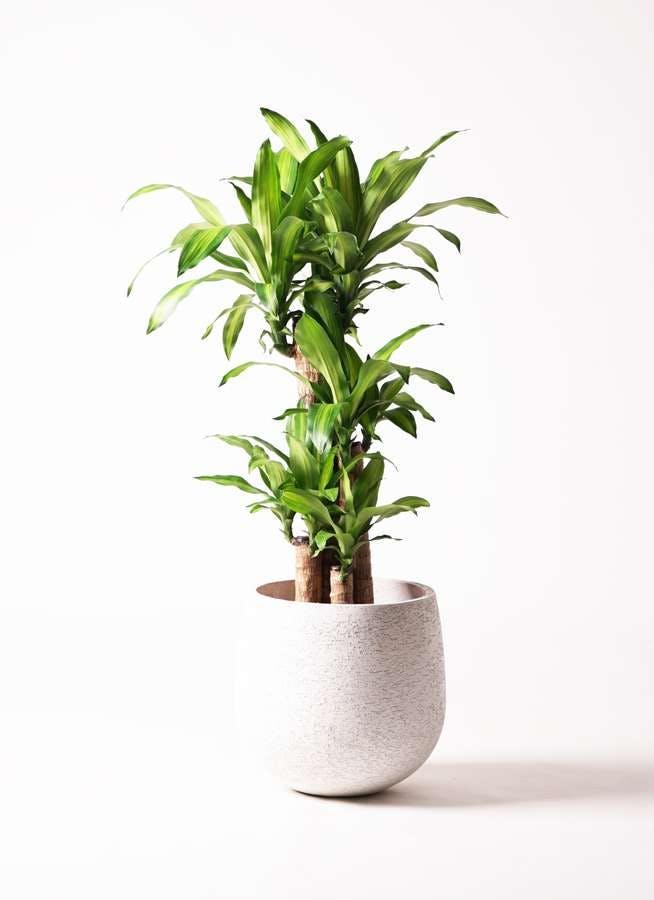 観葉植物 ドラセナ 幸福の木 8号 ノーマル エコストーンwhite 付き
