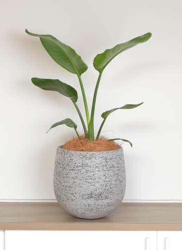 観葉植物 オーガスタ 6号 エコストーンGray 付き