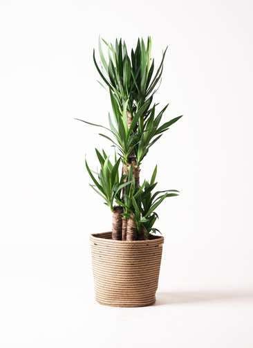 観葉植物 ユッカ 8号 ノーマル リブバスケットNatural 付き