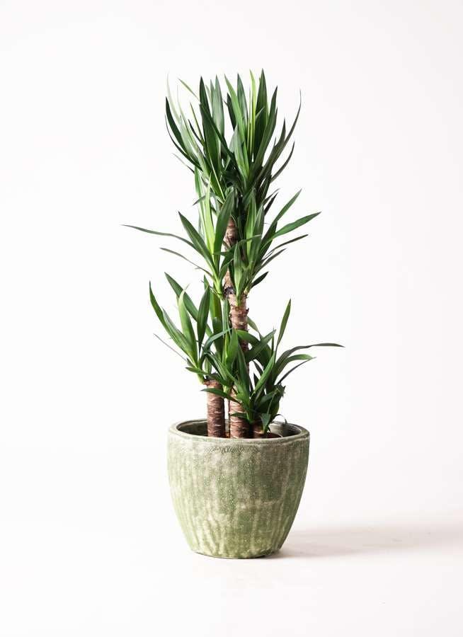 観葉植物 ユッカ 8号 ノーマル アビスソニア ミドル 緑 付き