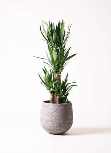 観葉植物 ユッカ 8号 ノーマル エコストーンGray 付き