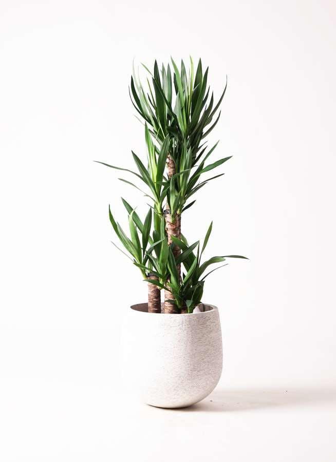 観葉植物 ユッカ 8号 ノーマル エコストーンwhite 付き