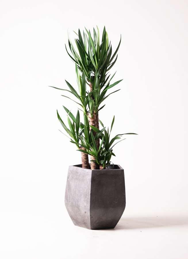 観葉植物 ユッカ 8号 ノーマル ファイバークレイGray 付き