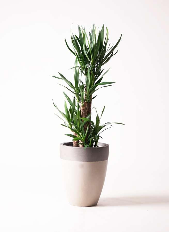 観葉植物 ユッカ 8号 ノーマル ファイバーストーン カプリ サンディホワイト 付き
