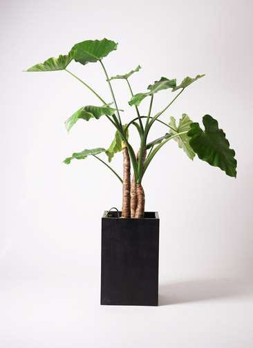 観葉植物 クワズイモ 10号 セドナロング 墨 付き