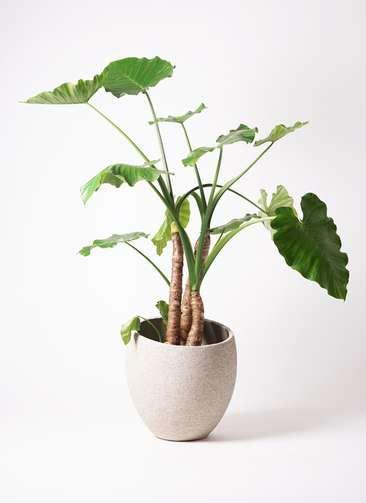 観葉植物 クワズイモ 10号 エコストーンLight Gray 付き