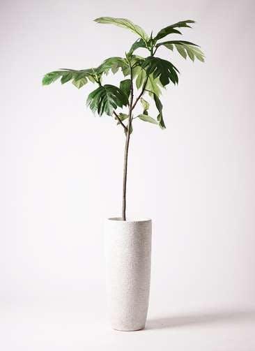 観葉植物 パンノキ 8号 エコストーントールタイプ white 付き
