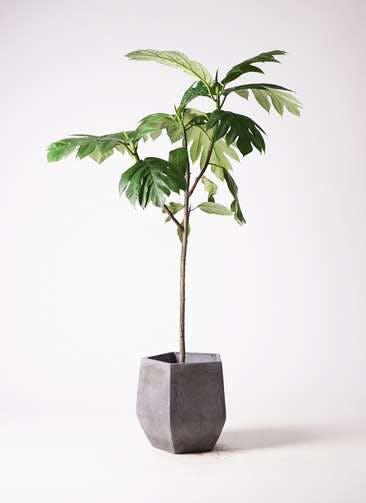 観葉植物 パンノキ 8号 ファイバークレイ Gray 付き
