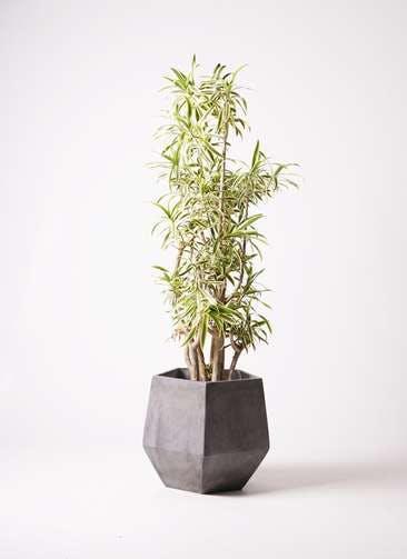 観葉植物 ドラセナ ソング オブ インディア 10号 ファイバークレイGray 付き