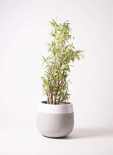 観葉植物 ドラセナ ソング オブ インディア 10号 ファイバーストーンタウルス ミドル 白 付き