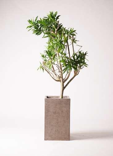 観葉植物 ドラセナ ソング オブ ジャマイカ 8号 セドナロング グレイ 付き