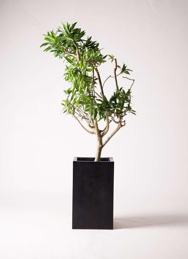 観葉植物 ドラセナ ソング オブ ジャマイカ 8号 セドナロング 墨 付き