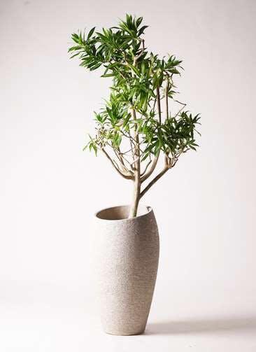 観葉植物 ドラセナ ソング オブ ジャマイカ 8号 エコストーントールタイプ Light Gray 付き