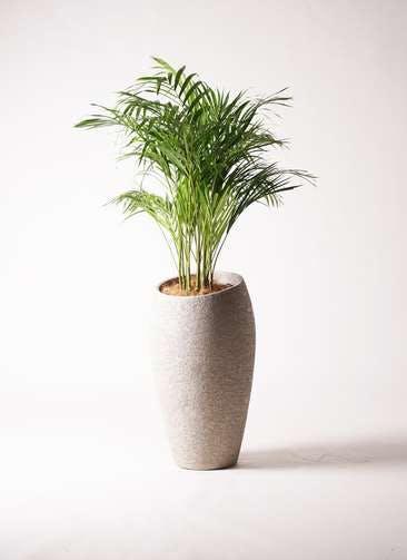 観葉植物 アレカヤシ 8号 エコストーントールタイプ Light Gray 付き