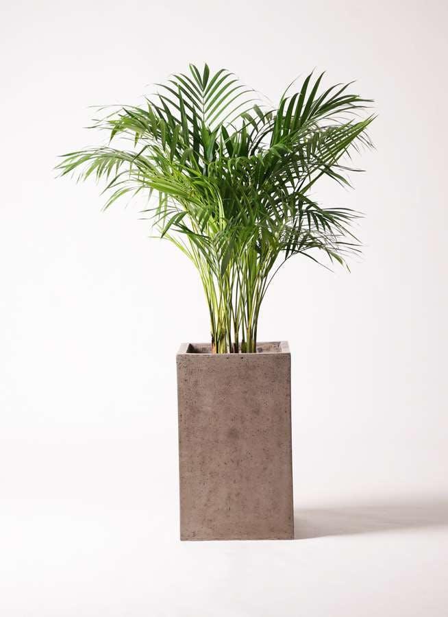 観葉植物 アレカヤシ 8号 セドナロング グレイ 付き
