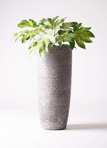 観葉植物 ヤツデ 7号 エコストーントールタイプ Gray 付き