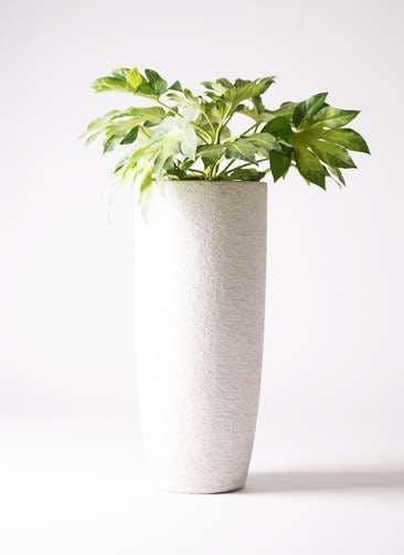 観葉植物 ヤツデ 7号 エコストーントールタイプ white 付き