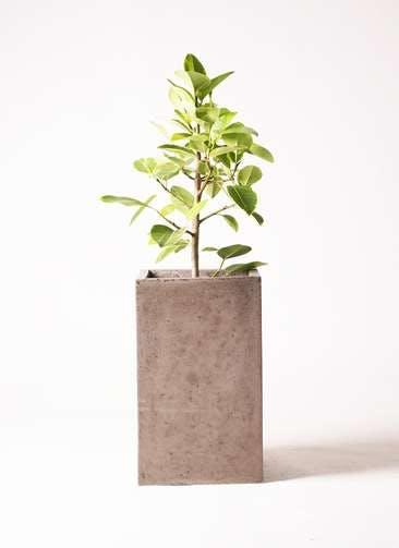 観葉植物 フィカス アルテシーマ 7号 ストレート セドナロング グレイ 付き