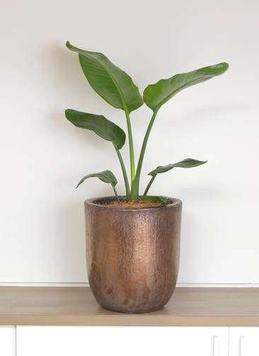 観葉植物 オーガスタ 6号 ビトロ ウーヌム コッパー釉 付き