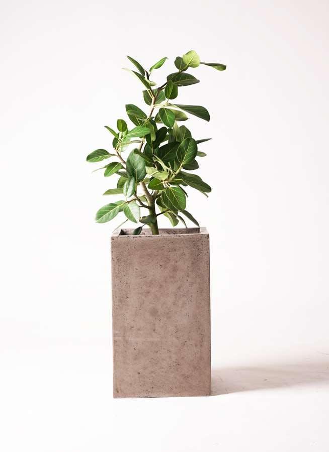 観葉植物 フィカス ベンガレンシス 7号 ストレート セドナロング グレイ 付き