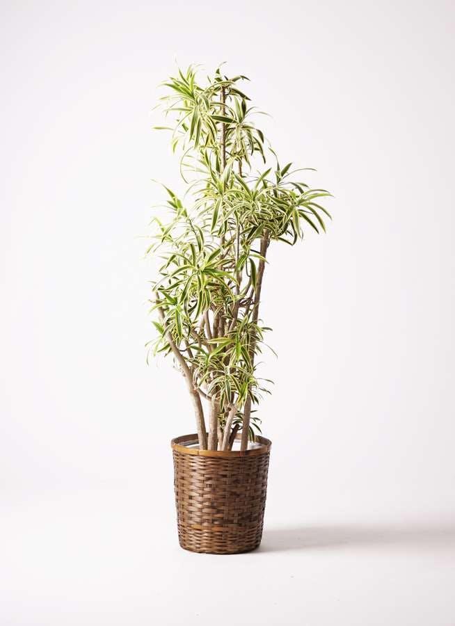 観葉植物 ドラセナ ソング オブ インディア 10号 竹バスケット 付き