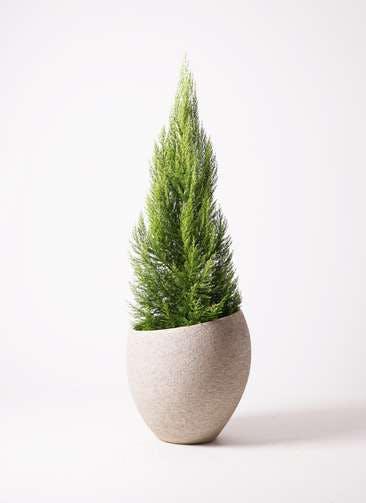 観葉植物 ゴールドクレスト 10号 ノーマル エコストーンLight Gray 付き