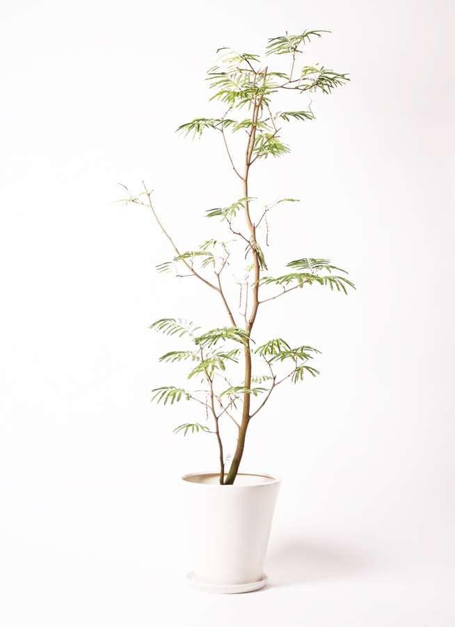 観葉植物 エバーフレッシュ 10号 ボサ造り サブリナ 白 付き