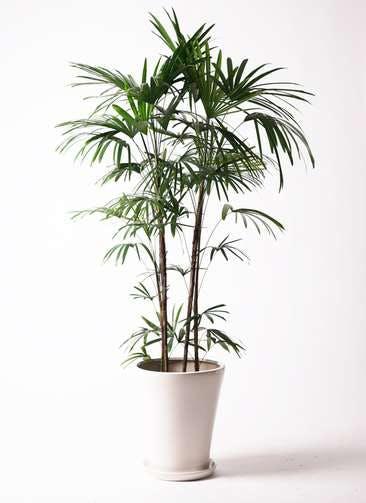 観葉植物 シュロチク(棕櫚竹) 10号 サブリナ 白 付き