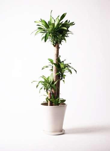 観葉植物 ドラセナ 幸福の木 10号 ノーマル サブリナ 白 付き