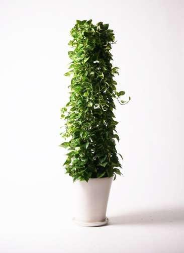 観葉植物 ポトス 10号 サブリナ 白 付き