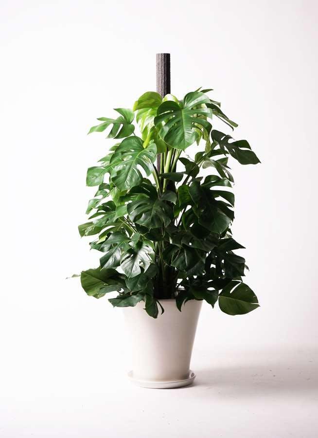 観葉植物 モンステラ 10号 木柱 サブリナ 白 付き