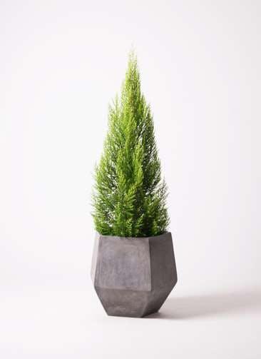 観葉植物 ゴールドクレスト 10号 ノーマル ファイバークレイGray 付き