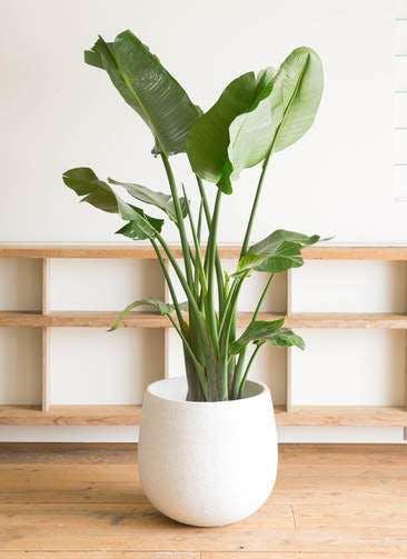 観葉植物 オーガスタ 10号 エコストーンwhite 付き