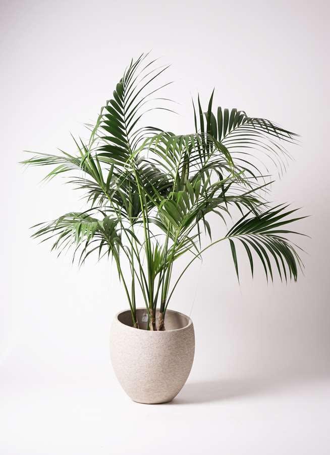 観葉植物 ケンチャヤシ 10号 エコストーンLight Gray 付き
