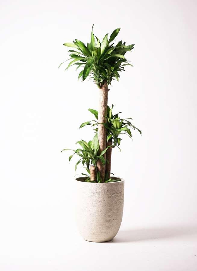 観葉植物 ドラセナ 幸福の木 10号 ノーマル ビアスアルトエッグ 白 付き