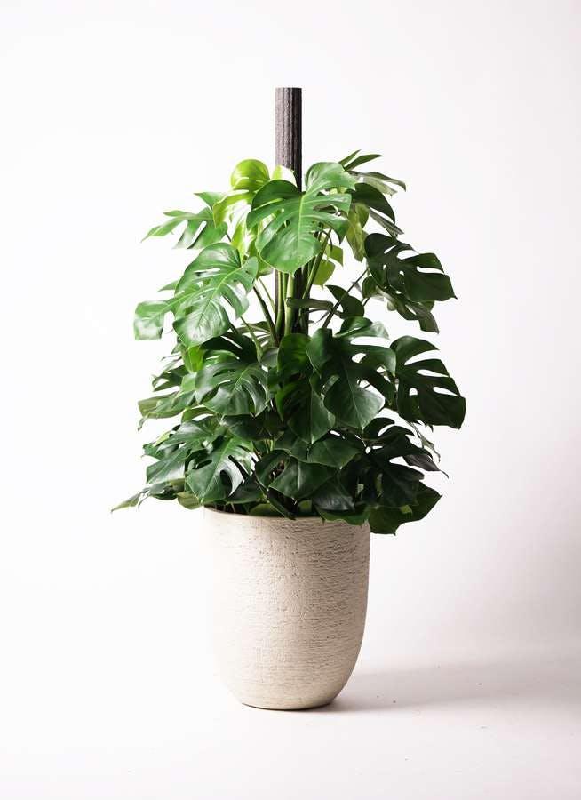観葉植物 モンステラ 10号 木柱 ビアスアルトエッグ 白 付き