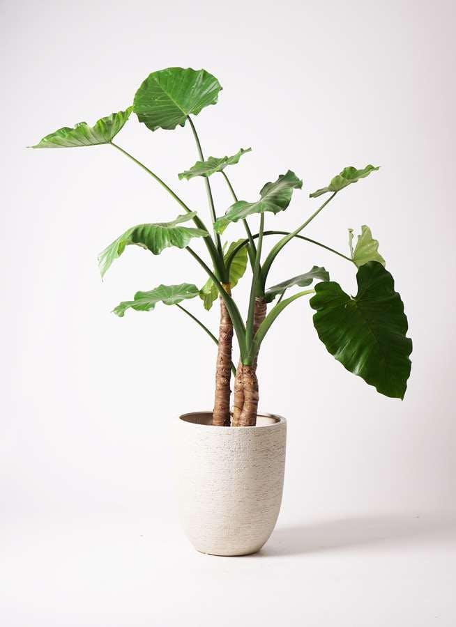 観葉植物 クワズイモ 10号 ビアスアルトエッグ 白 付き