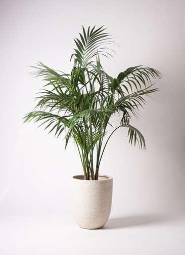 観葉植物 ケンチャヤシ 10号 ビアスアルトエッグ 白 付き