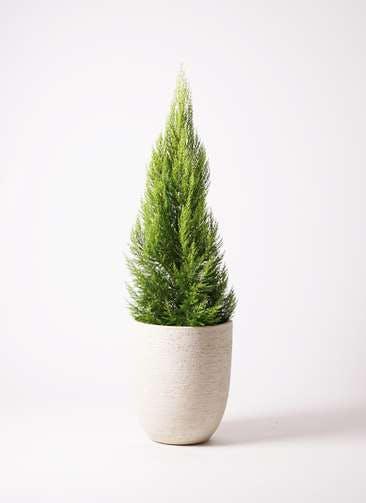 観葉植物 ゴールドクレスト 10号 ノーマル ビアスアルトエッグ 白 付き