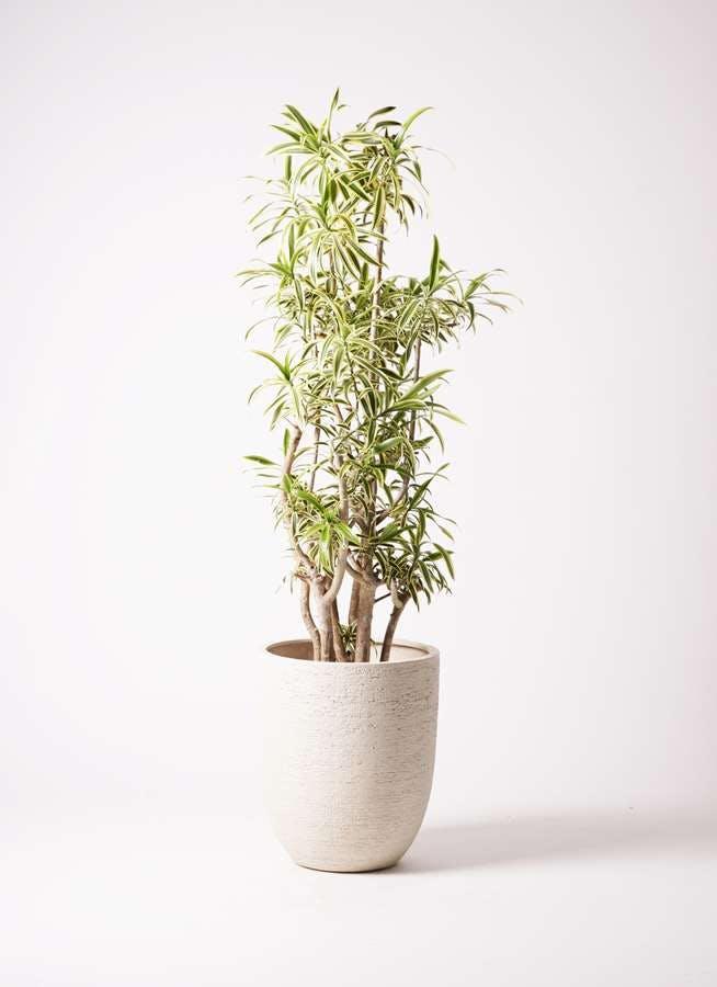 観葉植物 ドラセナ ソング オブ インディア 10号 ビアスアルトエッグ 白 付き