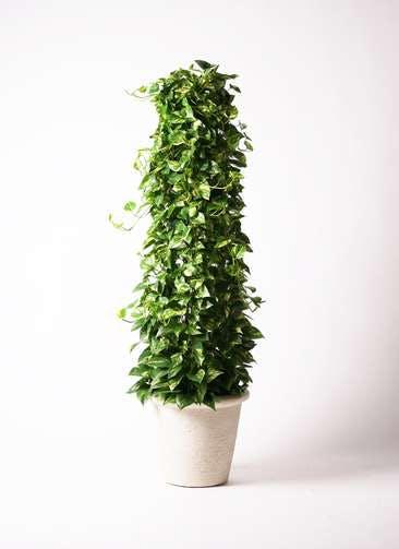 観葉植物 ポトス 10号 ビアスリムス 白 付き