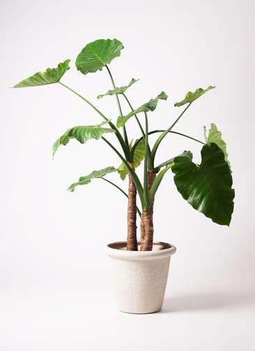 観葉植物 クワズイモ 10号 ビアスリムス 白 付き